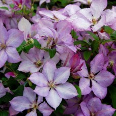 Клематис крупноцветковый Маргарет Хант
