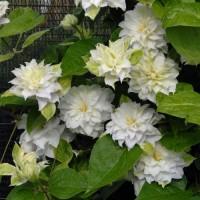 Клематис крупноцветковый Мария Склодовская-Кюри