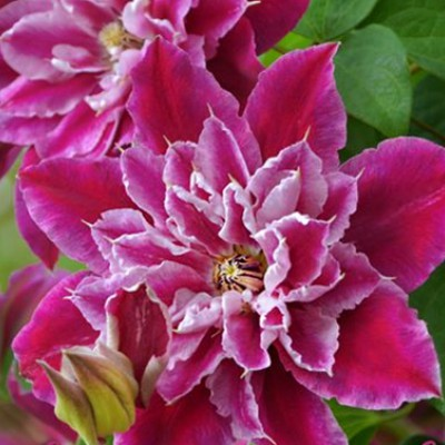 Клематис крупноцветковый Май Дарлинг