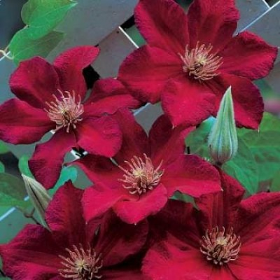 Клематис крупноцветковый Мазовше