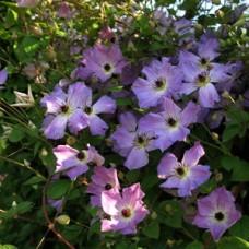 Клематис крупноцветковый Монинг Скай