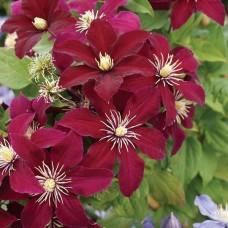 Клематис крупноцветковый Ниобе