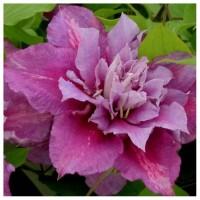 Клематис крупноцветковый Пиилу