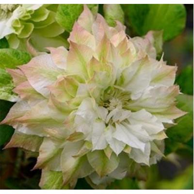 Купить саженцы Клематис крупноцветковый Сэн-но-Кадзэ