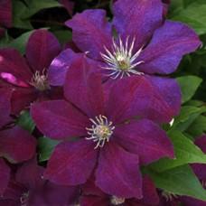 Клематис крупноцветковый Сирена
