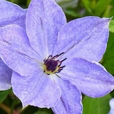 Клематис крупноцветковый Скайфолл