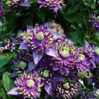 Клематис крупноцветковый Тайга