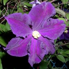 Клематис крупноцветковый Виола
