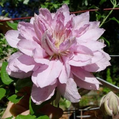 Купить саженцы Клематис крупноцветковый Виолет Элизабет