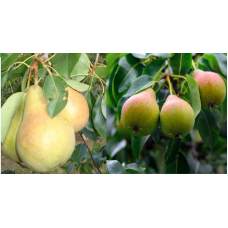Дерево-сад (2-3х, 3-4х летка) груша 2 сорта Осенняя Яковлева - Чижовская