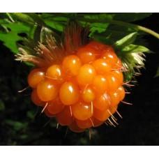 Малина великолепная (превосходная) Флора Плено