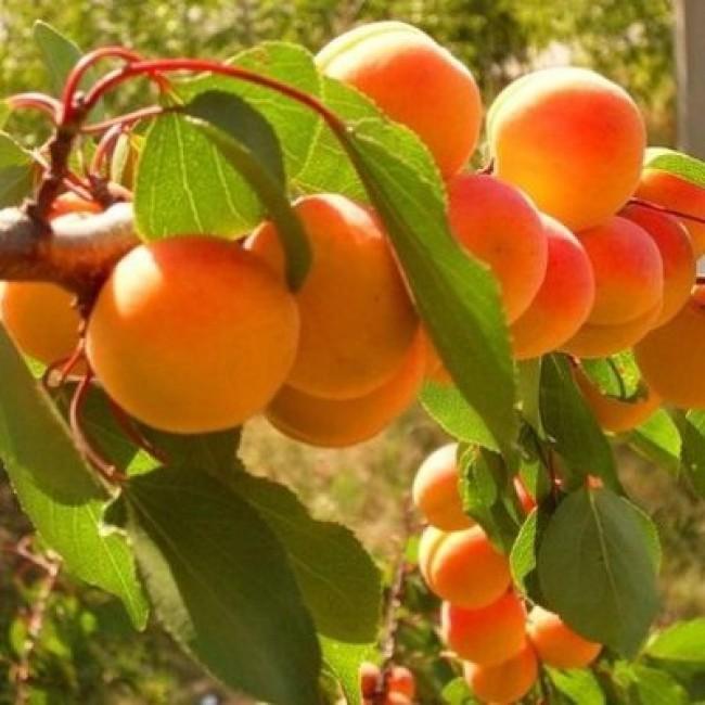Картинки по запросу абрикос внук краснощекого