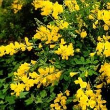 Акация желтая (Карагана древовидная)