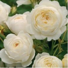 Роза английская Клэр Остин