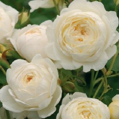 Английская роза Клэр Остин купить саженцы