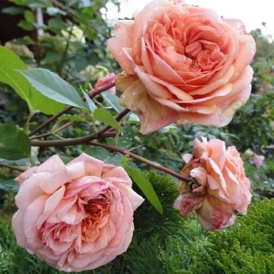 Роза английская парковая Абрахам Дерби