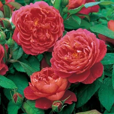 Роза английская парковая Бенжамин Бриттен купить саженцы