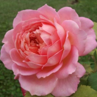 Роза английская парковая Джубили Селебрейшен