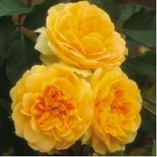 Роза английская парковая Инглиш Йеллоу