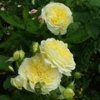 Роза английская парковая Пилгрим
