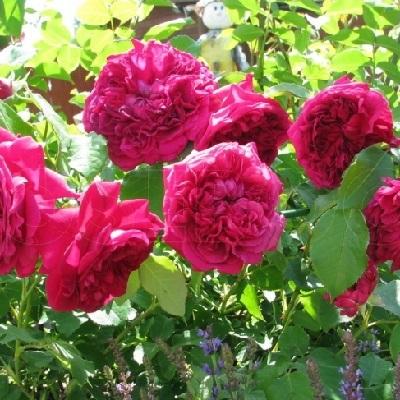 Роза английская парковая Вильям Шекспир купить саженцы