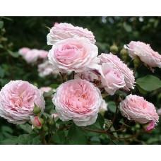 Роза английская парковая Джеймс Гэлвэй