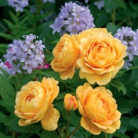 Роза английская парковая Голден Селебрейшен
