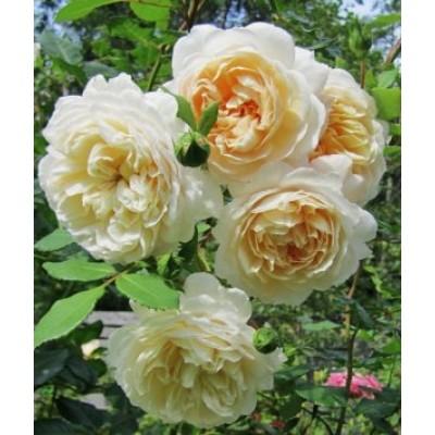 Роза английская парковая Крокус Роуз купить саженцы