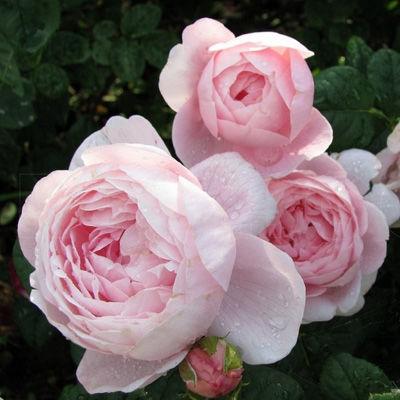 Роза английская парковая Квин ов Свиден купить саженцы