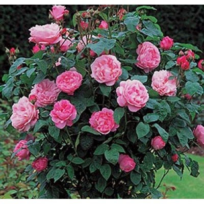 Роза английская парковая Мэри  Роуз купить саженцы