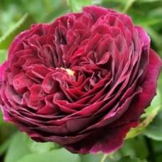 Роза английская парковая Принц