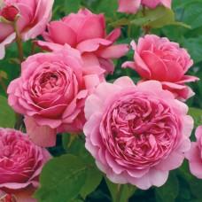Роза английская парковая Принцесс Алесандра оф Кент