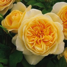 Роза английская Тизинг Джорджиа