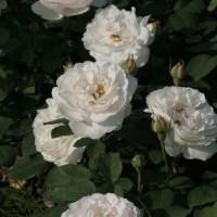 Роза английская парковая Винчестер Кэсидрал