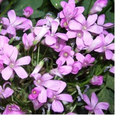 Арабис грандифлора Розовый