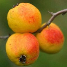 Айва Японская плодовая