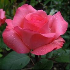 Роза чайно-гибридная Аакхенер Дом (Rose Aachener Dom)