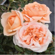 Роза чайно-гибридная Абби де Клуни (Rose Abbaye de Cluny)