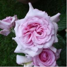 Роза чайно-гибридная Абэ де Вальсэнт (Rose Abbaye de Valsaintes)