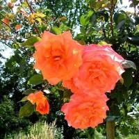 Роза чайно-гибридная Амбасадор