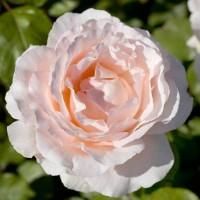 Роза чайно-гибридная Андре Ле Нотре ( Rose Andre Le Notre)