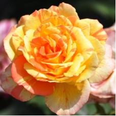 Роза чайно-гибридная  Андрэ Виллемс (Rose Andre Willemse)