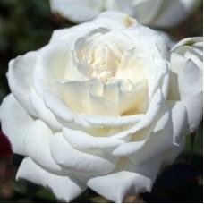 Роза чайно-гибридная Аннапурна (Rose  Annapurna)