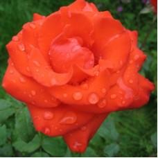 Роза чайно-гибридная  Анжелика (Rose Angelique)