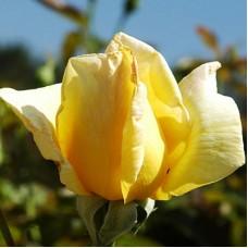 Роза чайно-гибридная  Арлин Фрэнсис (Rose Arlene Francis)