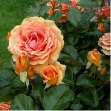 Роза чайно-гибридная Ашрам (Rose Ashram)