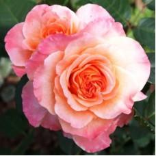 Роза чайно-гибридная Августа Луиза (Rose Augusta Luise)
