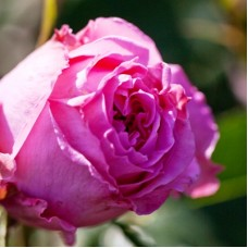 Роза чайно-гибридная Августа Ренуа (Rose Auguste Renoir)