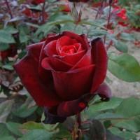 Роза чайно-гибридная Баркарола (Rose Barkarole)