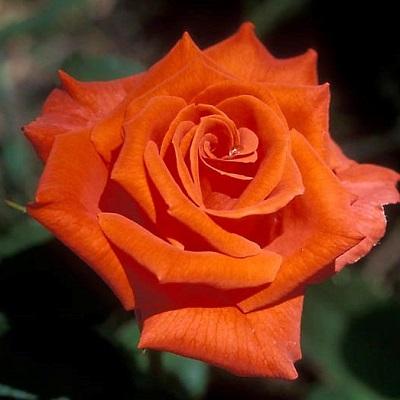 Роза чайно-гибридная Бейби